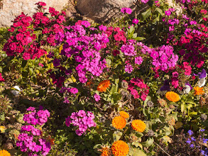 """Photo: Hey There, It's Flower Friday! Posies Popping in Tucson Even though I'm in Tucson for the rocks and gems this week it is impossible to ignore the glorious color pop of so many blooming flowers. These are from a garden bed at the Westward Look Resort in northeast Tucson. And not only are these colors warm, it IS warm here now with a week reaching 80 degrees and more daily. Perfect weather for events that take place all over the city at over 40 venues, with hundreds of vendors and outdoor tents. #flowerfriday  #floralfriday  #colorsonfriday  #flowerpower  #pinkcircle  #arizonaflowers +Tamara Pruessner+Beth Akerman+Kiki Nelson+Eustace James BTW, I bet Tamara is missing """"her"""" flowers since she left Tucson for Texas recently!"""