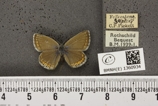 Lysandra bellargus ab. minor Tutt, 1909
