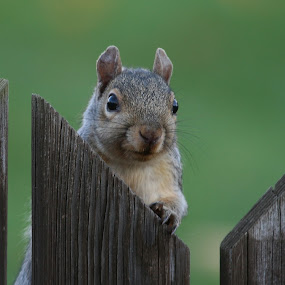 Squirrel Playing Peek a Boo by Ken Keener - Animals Other ( cute, peek a boo, squirrel )