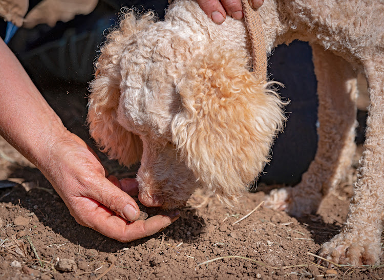 """The dogs are never wrong,"" says Van Dyk. ""You can believe them. If they show you a spot, the truffle will be there."""