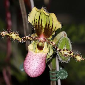 Orchid by Paramasivam Tharumalingam - Flowers Single Flower (  )
