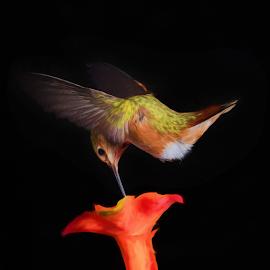 Rufous Hummingbird at Flower by Briand Sanderson - Digital Art Animals ( bird, modification, hummingbird, digital art, rufus hummingbird, rufous hummingbird, flower,  )