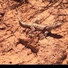 Long nosed Leopard Lizard