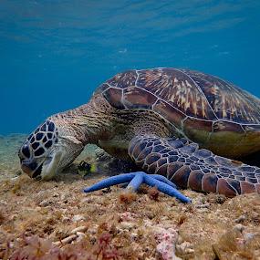 Friendly Turtle by Sergei Tokmakov - Animals Sea Creatures ( apo, nature, underwater, sea turtle, cebu, sea, tourism, travel, beach, philippines, turtle,  )