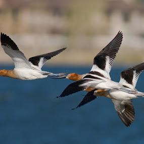 by John LeBlanc - Animals Birds ( avocet american, birds )