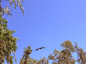 Photo: It's an eagle. no just a bat Bloody big bastards