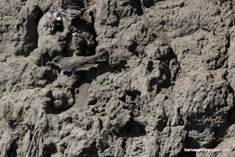 Photo: It's almost like evolution had shaped sand martins to blend in with the banks in which they build there colonies