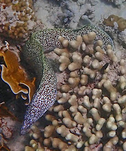 Photo: A FEW HIGHLIGHTS: Spotted Moray. Common, but cryptic.