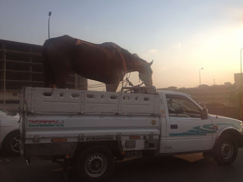 Horse in back of truck being transported in Egypt