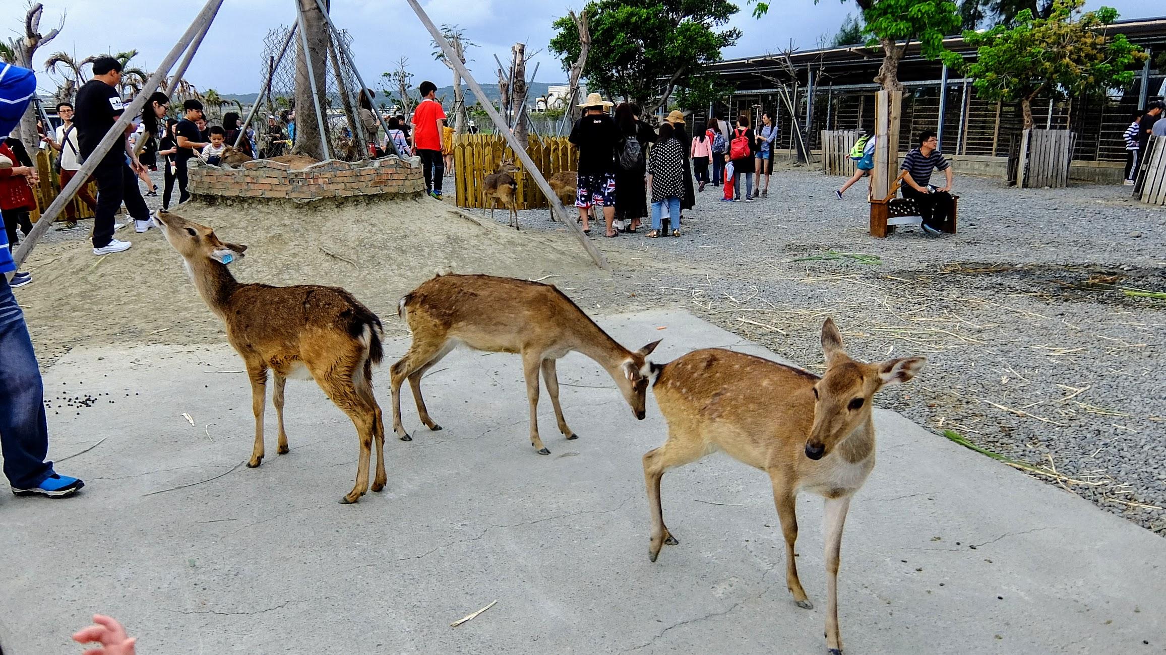 其實遊客很多,餵食的人也多,所以有些鹿早就吃飽飽了