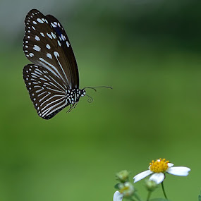 Kahinggok by Just Arief - Animals Insects & Spiders ( butterfly, macro, insects, in flight, animal )