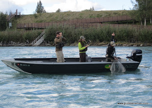 Photo: Nick Ohlrich of Alaska Drift Away Fishing about to put a Kenai rainbow trout in the net.