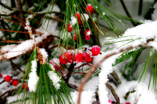 First Snow by Martin Stepalavich - Nature Up Close Trees & Bushes (  )