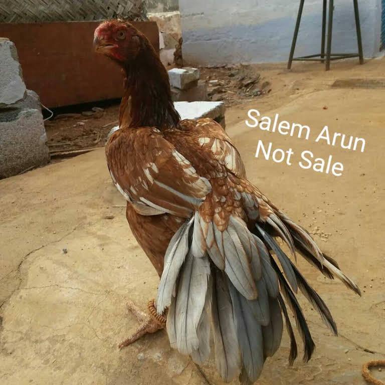 parrot beak And long tail fancy birds - Bird Shop in salem