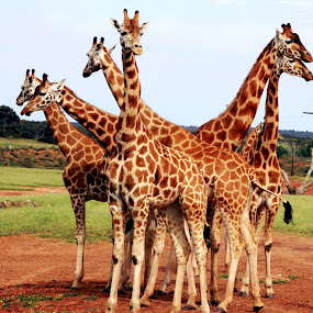 Giraffe Gathering by Deb Thomas - Animals Other Mammals ( giraffe, wildlife, group, animal,  )