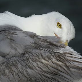Seagull preening by Mona Marie Hess - Novices Only Wildlife ( mona )