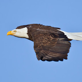 by Herb Houghton - Animals Birds ( wild, bird of prey, eagle, bald eagle, herbhoughton.com, raptor )