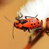 Lygaeid Bug (Nymph)