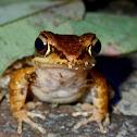 Romer's Tree Frog