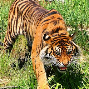 Sumatran Tiger by Phil Le Cren - Animals Lions, Tigers & Big Cats ( big cat, cat, tiger, sumatran tiger, , zoowatch, zoo, animals )