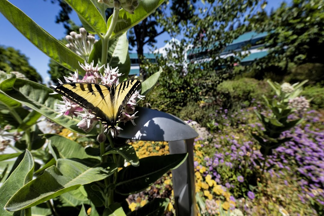 Butterfly lands on plants in outdoor landscape at Google ecology project.