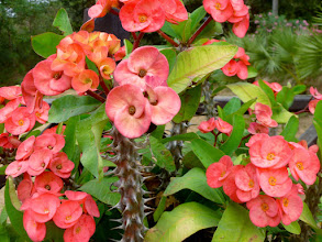 "Photo: I saw this ""crown of thorns"" plant in several of the countries I visited."