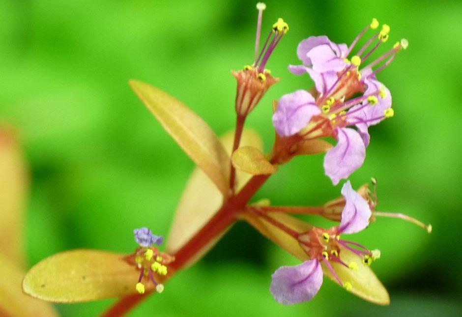 Незея педицелата (Nesaea pedicellata)