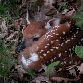 Fawn by Michael Haagen - Animals Other Mammals ( deer, outdoor, fawn, browm, spotted,  )