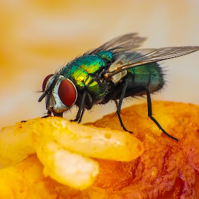 Fly eats Rice with Chicken by Amanda Blom - Animals Insects & Spiders ( chicken, macro, rice, nature, raynox, fly, fujifilm, eating, insect, close-up,  )
