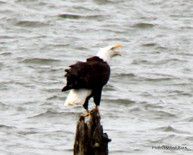 Photo: (Year 2) Day 346 - An Eagle - a Bit Too Far Away for a Good Shot Though