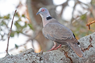 Photo: African Mourning Dove