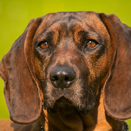 The look II by Blaž Ocvirk - Animals - Dogs Portraits ( bloodhound, portrait, bavarian, eyes )