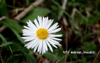 Photo: ΜΑΡΓΑΡΙΤΑ  ΜΠΕΛΛΙΣ Η ΔΑΣΙΚΗ Η μπελλίς η δασική ανήκει στην οικογένεια Asteraceae. Υπάρχουν 15 είδη στο γένος Bellis τα οποία είναι  γηγενή είδη της Ευρώπης και της Μεσογείου. Η μπελλίς έχει εύσαρκες ρίζες και είναι συνήθως άμισχη. Τα φύλλα της σχηματίζουν μία χαρακτηριστική ροζέτα, έχουν επίμηκες σχήμα και συνήθως είναι πιο ευρεία από τη μέση και πάνω (1).  Είναι σκούρα πράσινα και έχουν τρεις νευρώσεις  που συγκλίνουν προς τη βάση. Η στεφάνη είναι άσπρη και στο κέντρο έχει έναν κίτρινο δίσκο ενώ τα πέταλά της συχνά έχουν κόκκινες-μοβ αποχρώσεις και εκφύονται από μακριούς  λεπτούς μίσχους