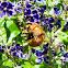 Sonoran Carpenter Bee (Male)/ Nalo Nui