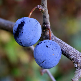Plums by Gil Reis - Nature Up Close Gardens & Produce ( wild, life, bio, nature, fruits, places )