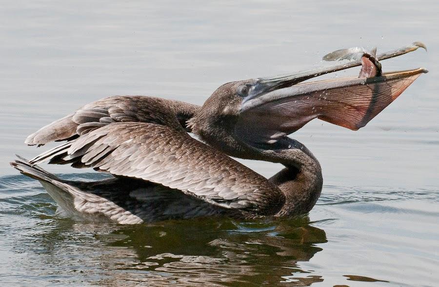 Down the Hatch by Cindy Robinson - Animals Birds ( bird, fish, wildlife, pelican )
