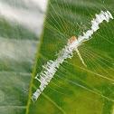 Little argiope spides web
