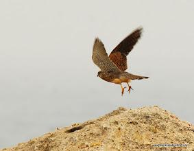 Photo: Eurasian Kestrel (Gheppio), taking flight from Capo Murro di Porco, south of Siracusa
