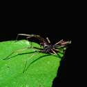 Narrow-waisted Sac Spider