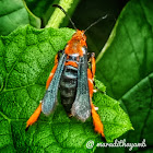 Clearwing borer