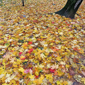 Fall carpet by Natalie Ax - Nature Up Close Leaves & Grasses ( leaf litter, tree, yellow, red, fallen, leaves, fall, fallen leaves, carpet, season, ground, autumn, colorful )