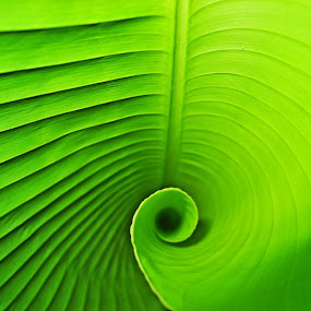 Palm leaf spiral by Daniel Schwabe - Nature Up Close Leaves & Grasses ( palm, nature, green, spiral, leaf, geometry )