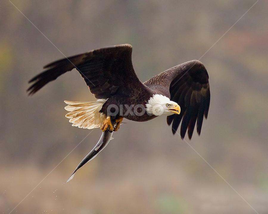 As Fresh as It Gets by Herb Houghton - Animals Birds ( bird of prey, eagle, bald eagle, raptor )