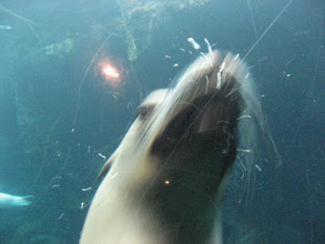 Photo: This sea lion attacked the glass and tried to bite it...I think he's unhappy here:(