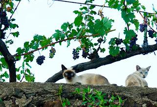 Photo: gats de Santa Pau (la Garrotxa)