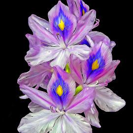 Hyacinth by Asif Bora - Digital Art Things (  )