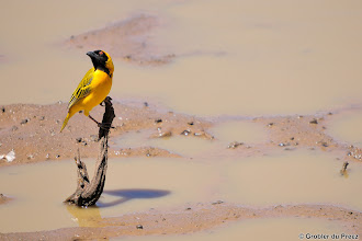 Photo: Southern Masked Weaver (Afrikaans: Swartkeelgeelvink) at the bird hide at Stofdam in the Mokala National Park