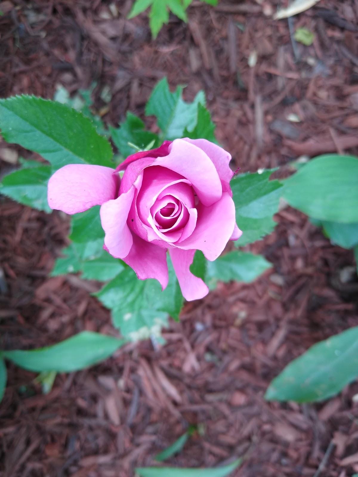 Barbra Streisand rose picture
