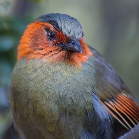 Red-faced Liocichla by William Tan - Animals Birds ( bird, liocichla, red-faced, portrait )