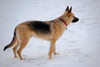 Photo: Mein Schäferhund, Xander